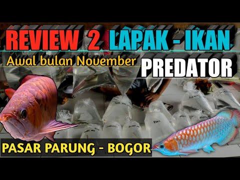 daftar-harga-ikan-predator-pasar-parung-bogor-||-part-2