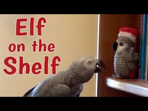 Dan & Shelby - Talking Parrot Chats With Parrot Elf On A Shelf