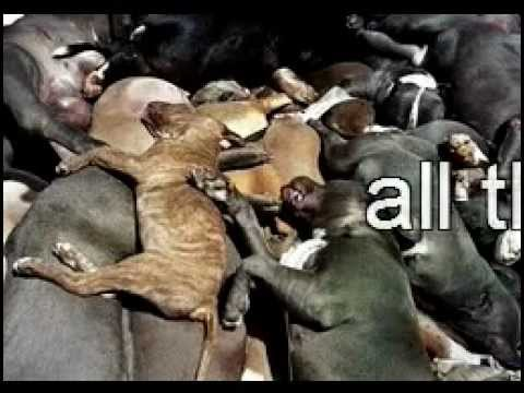 Love Your Pit Bull Stop Dog Fighting And Bad Breeding No