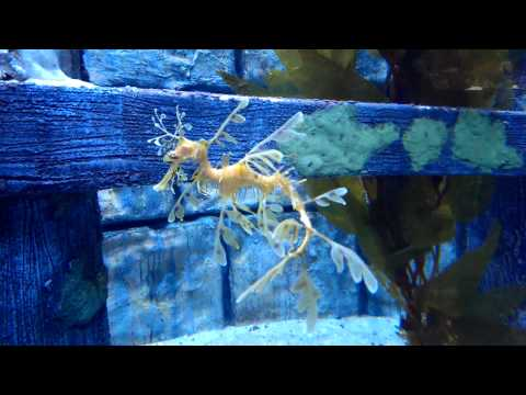 Beautiful Seahorse Swimming at the Melbourne Aquarium