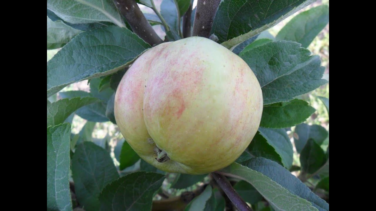 Еще несколько слов о сорте яблони Конфетное и Колоновидных яблонях.