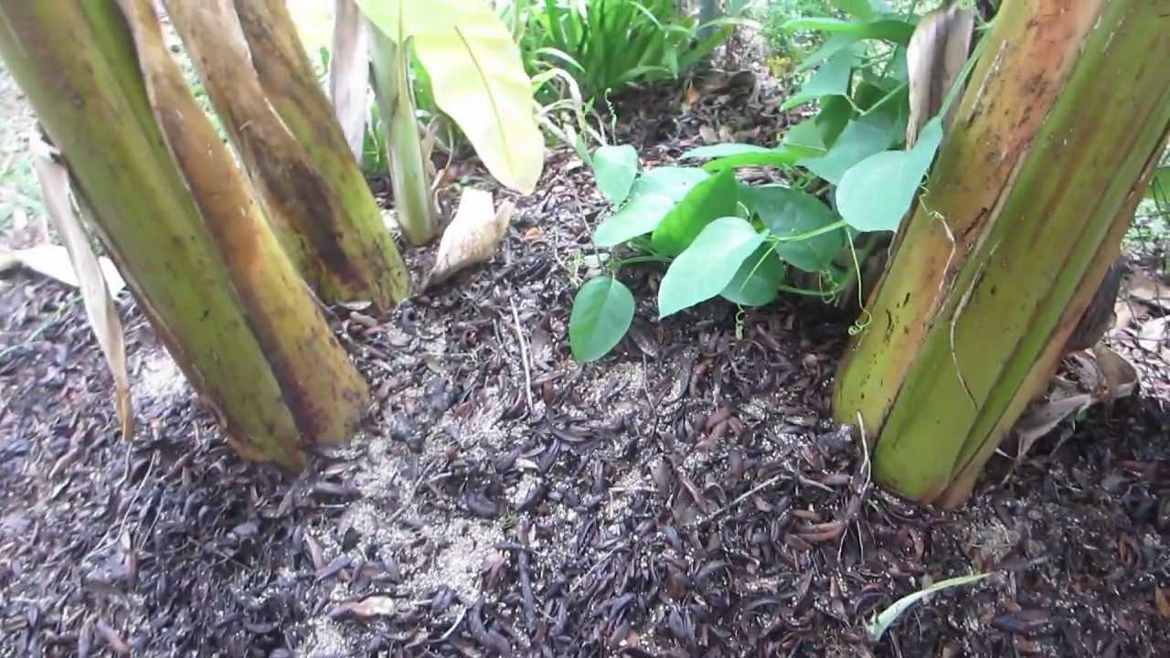 Maintaining A Banana Plant