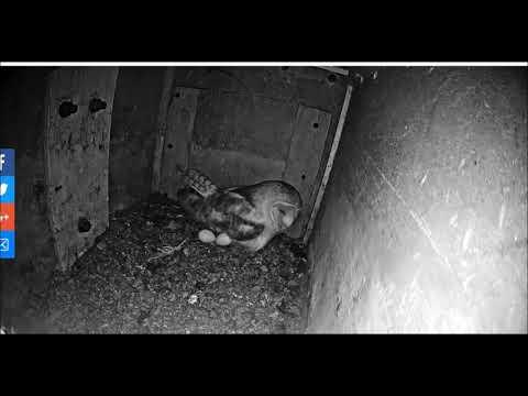 Blue House Farm female Barn Owl produces FOURTH EGG 24th April 2019