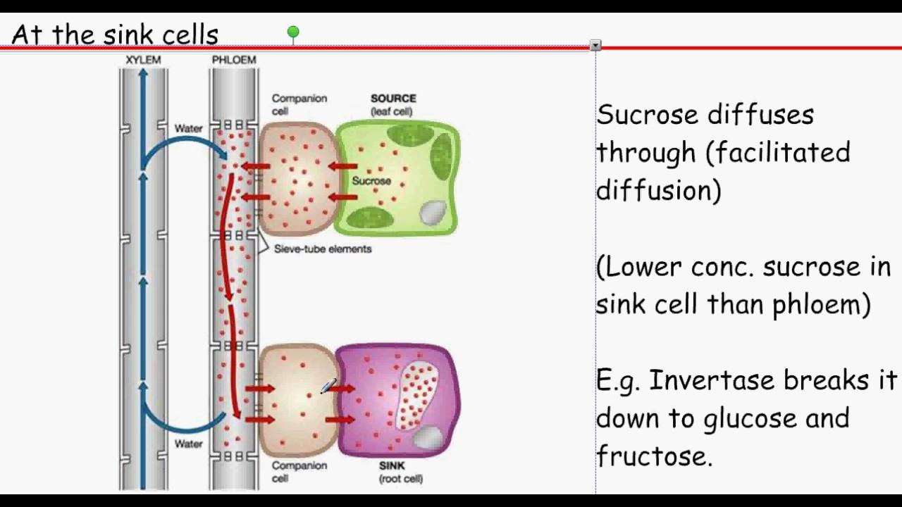 facilitated diffusion diagram