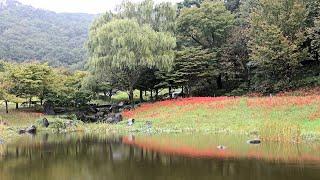 秋雨の万葉庭園とヒガンバナ(彼岸花・曼殊沙華) 先日、19日に五部咲き...