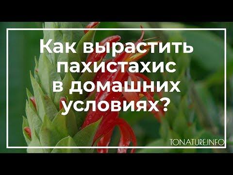 Как вырастить пахистахис в домашних условиях? | toNature.Info
