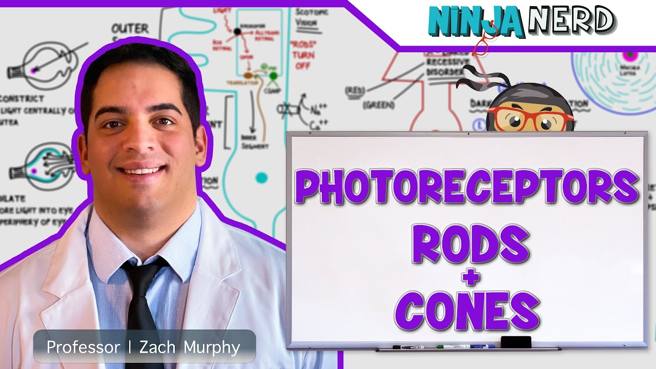 Special Senses Photoreceptors Rods And Cones Youtube