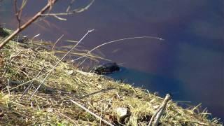 Выдра на реке Тосна_Otter River Tosna