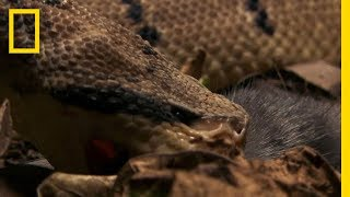 The Bushmaster Breeds Killer Babies | National Geographic