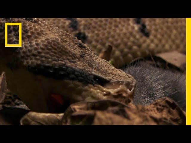The Bushmaster Breeds Killer Babies   National Geographic