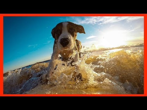 Funny Dog surfing in Water