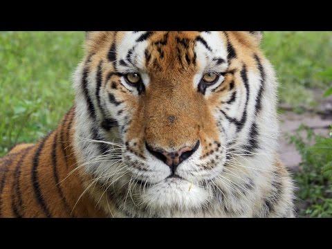 Tiger Swims, Bobcat Runs and Jungle Cat gets Scratched