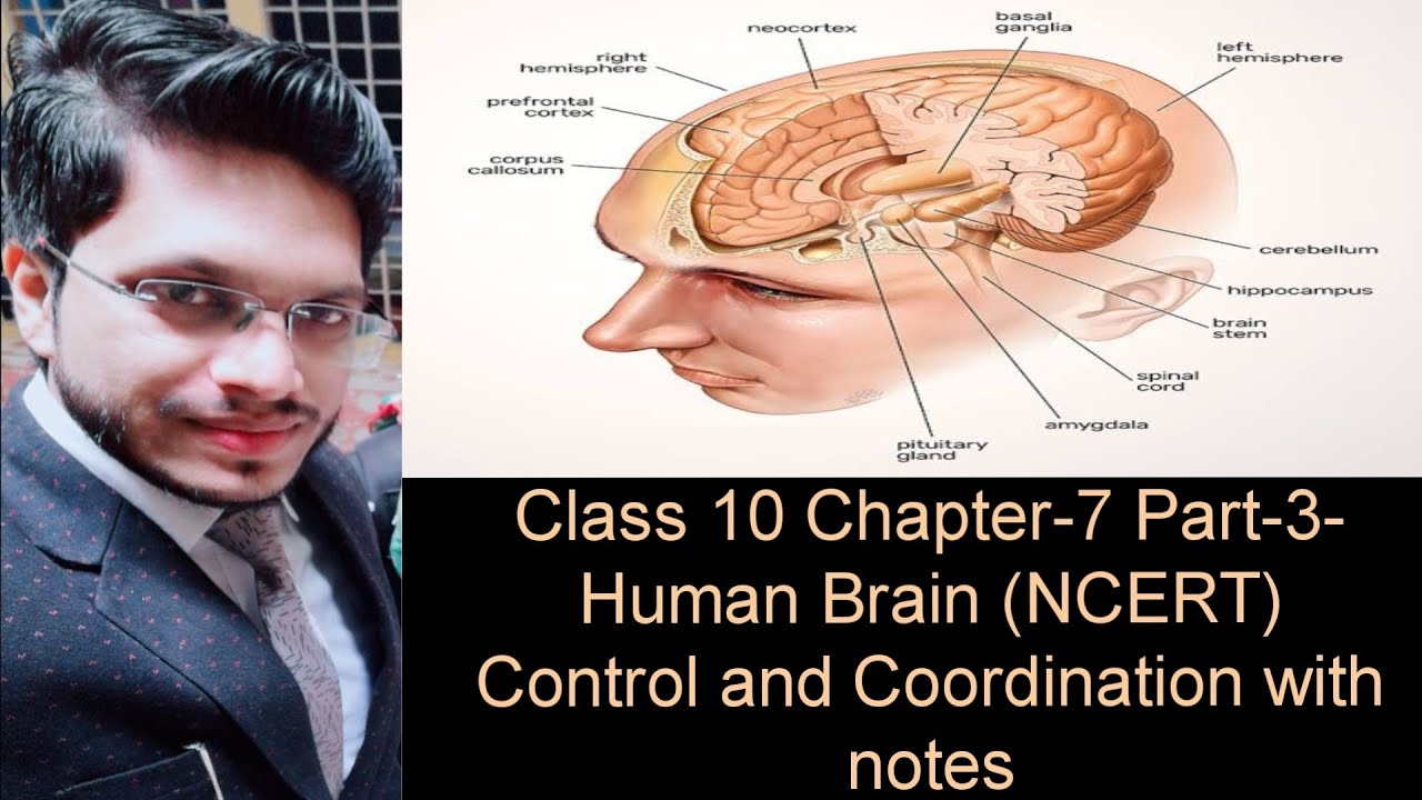 Brain (parts of the brain and it's functions)class 10 ...