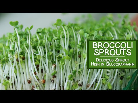 Broccoli Sprouts, A Delicious Sprout Variety High in Glucoraphanin