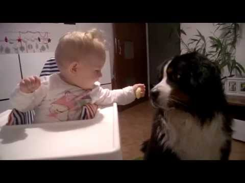 Bernese mountain dog - cute baby feeding dog