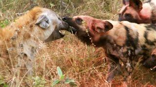 Hyena Bertarung Dengan Anjing Liar