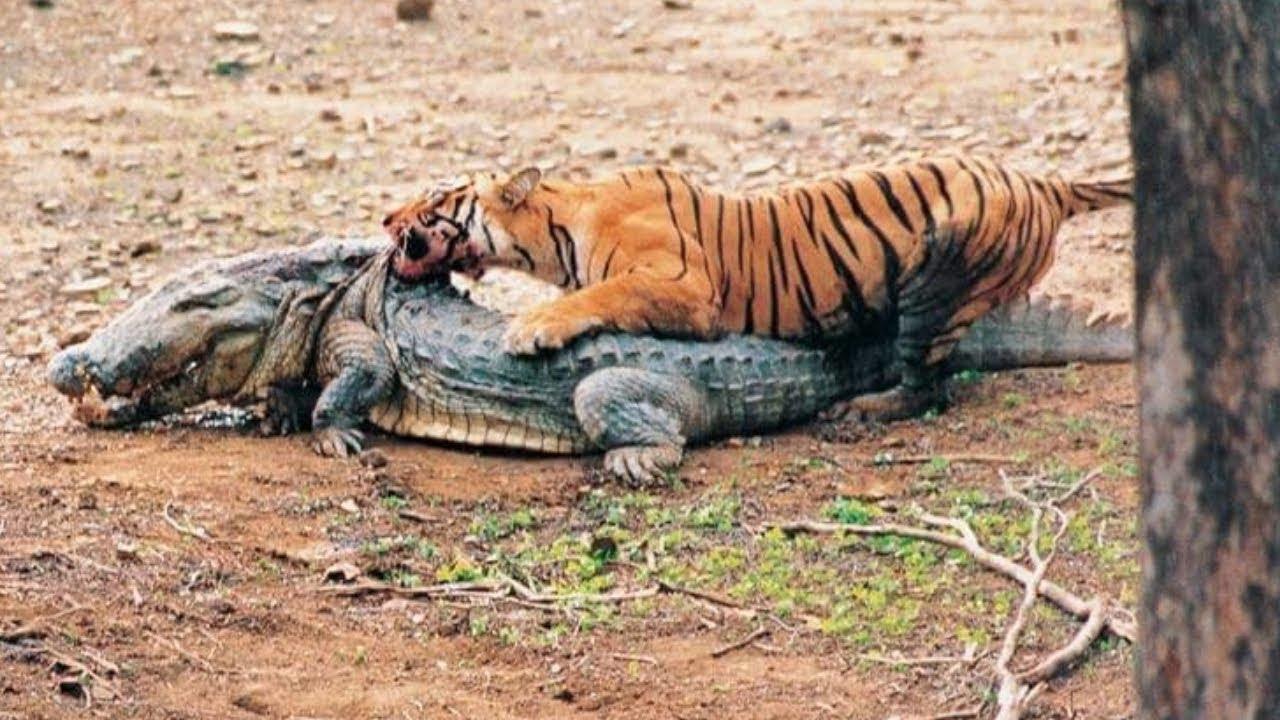 معركة نمر ضد تمساح Tiger vs Crocodile !! مشاهد تحبس الأنفاس.. أنظروا ما حدث !!