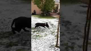 VIDEO Il labrador di Lady Zielinski si diverte nel giardino innevato