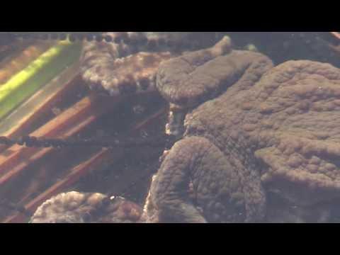 Poppende Erdkröten