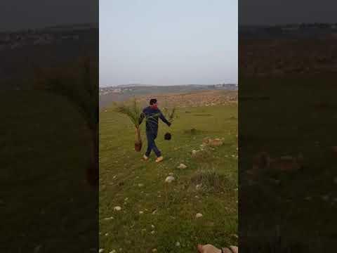 """תיעוד: ערבים עוקרים מטע זיתים שנשתל לזכר אורי אנסבכר הי""""ד"""