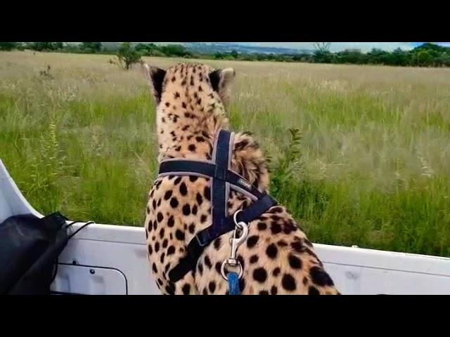 cheetah drives on back of car