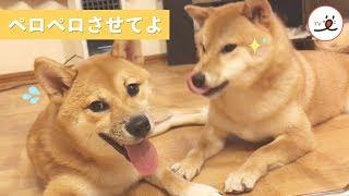 おいしい匂いがするワン…🤤 お口をペロペロ確認したがる柴犬【PECO TV】 thumbnail