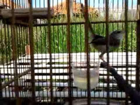 Burung klik klik cah pingli Mp3