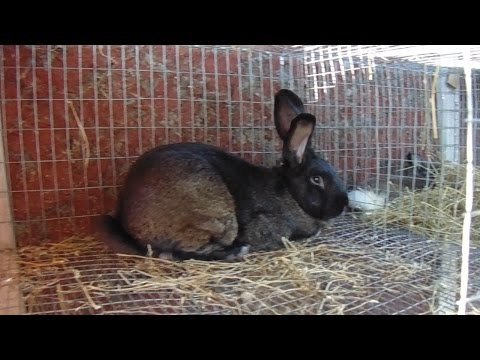 Rabbits - Installing a Drop Down Nestbox and Even More Rabbit Husbandry