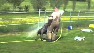 Calandor de la Guardia (Dardo de la Arena x Maxima de la Arena) dogo alano perro de presa canario