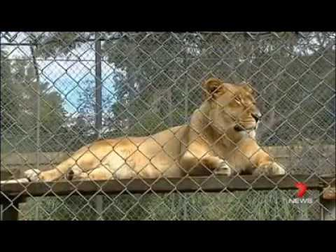 The African Lion Safari Warragamba & Bullens Animal World Wallacia, Australia