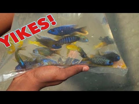 THIS IS WHAT REALLY HAPPENS WHEN YOU OVERSTOCK FRESHWATER CICHLID FISH AQUARIUMS