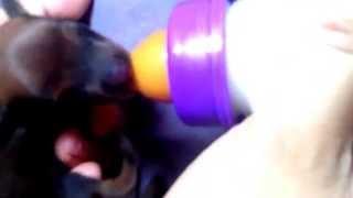 Feeding Baby Dachshund Dog