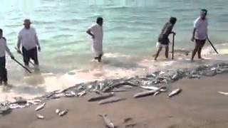 Sear(anjal)fish catching in sea