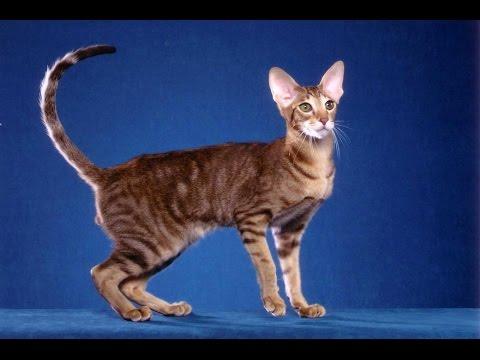 Ориентальная кошка (Oriental cat) породы кошек( Slide show)!