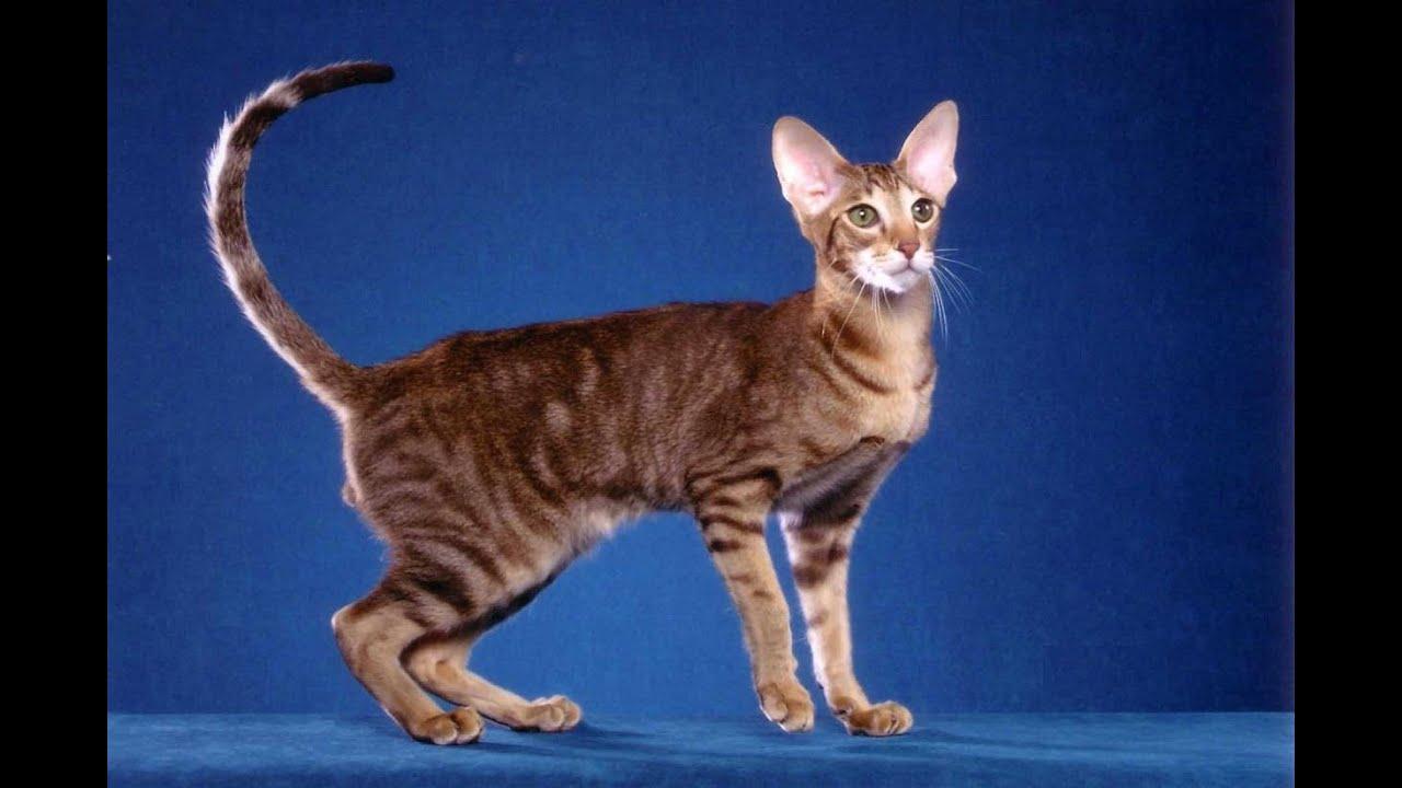 Кот ориентальный видео
