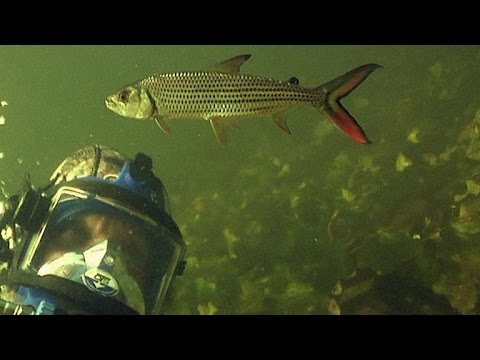Diving With The Deadly Tigerfish