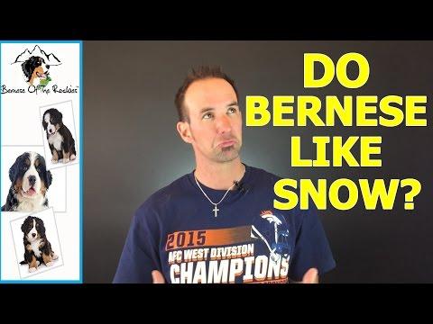 Do Bernese Mountain Dogs Like Snow?