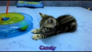 Британские котята окраса вискас (Litter c 2 months)