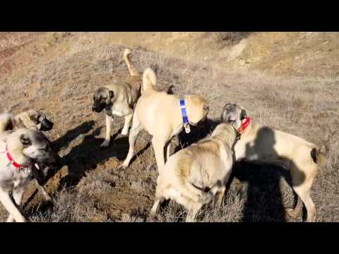 Kangalların süriye katılması Serkan Küçükdemir