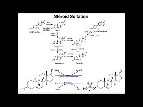 Sulfation of Steroids by Sulfotransferases [DHEA & Estrone]