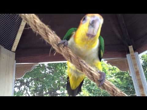 My White Bellied Caique – Buckley's first time in his new Aviary
