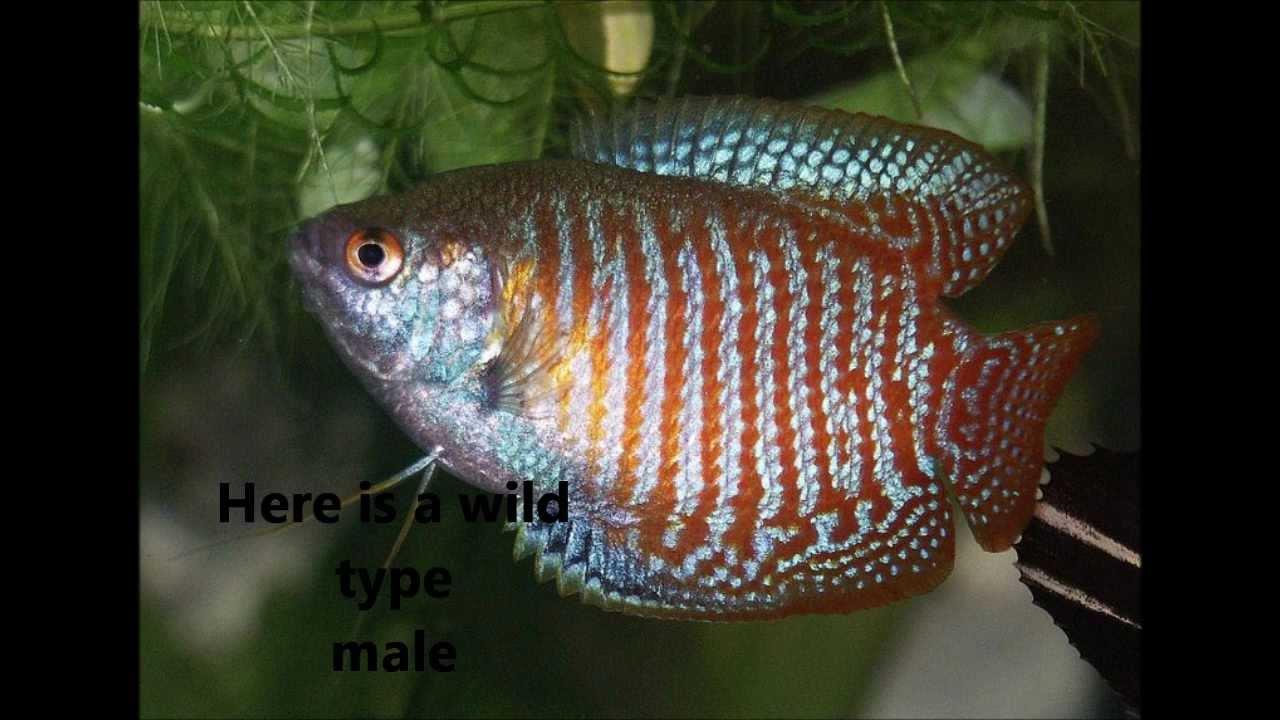 Species Profile 4 The Dwarf Gourami Trichogaster