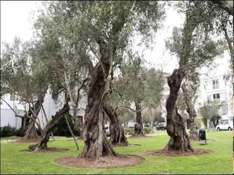 Peru News: Trees from El Olivar at risk