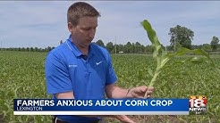 Farmers Anxious About Corn Crop