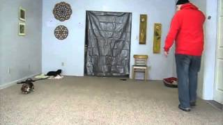 Southwest Florida Dog Trainer - Beagle Obedience Training -  Off Leash Obedience