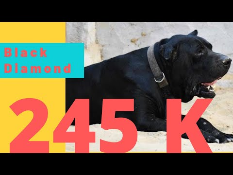 Special Interview Of Black Diamond Billu Indian Dog Bully Kutta indian Bully Dog