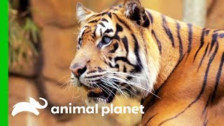 Hunter The Tiger Is Blind And Thriving!