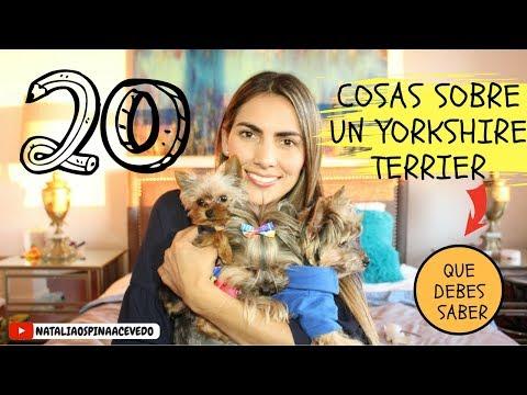 20 cosas sobre un Yorkshire Terrier (yorkie) que debes saber- Tips by Natalia Ospina