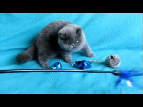 exotic shorthair blue kitten Potsey
