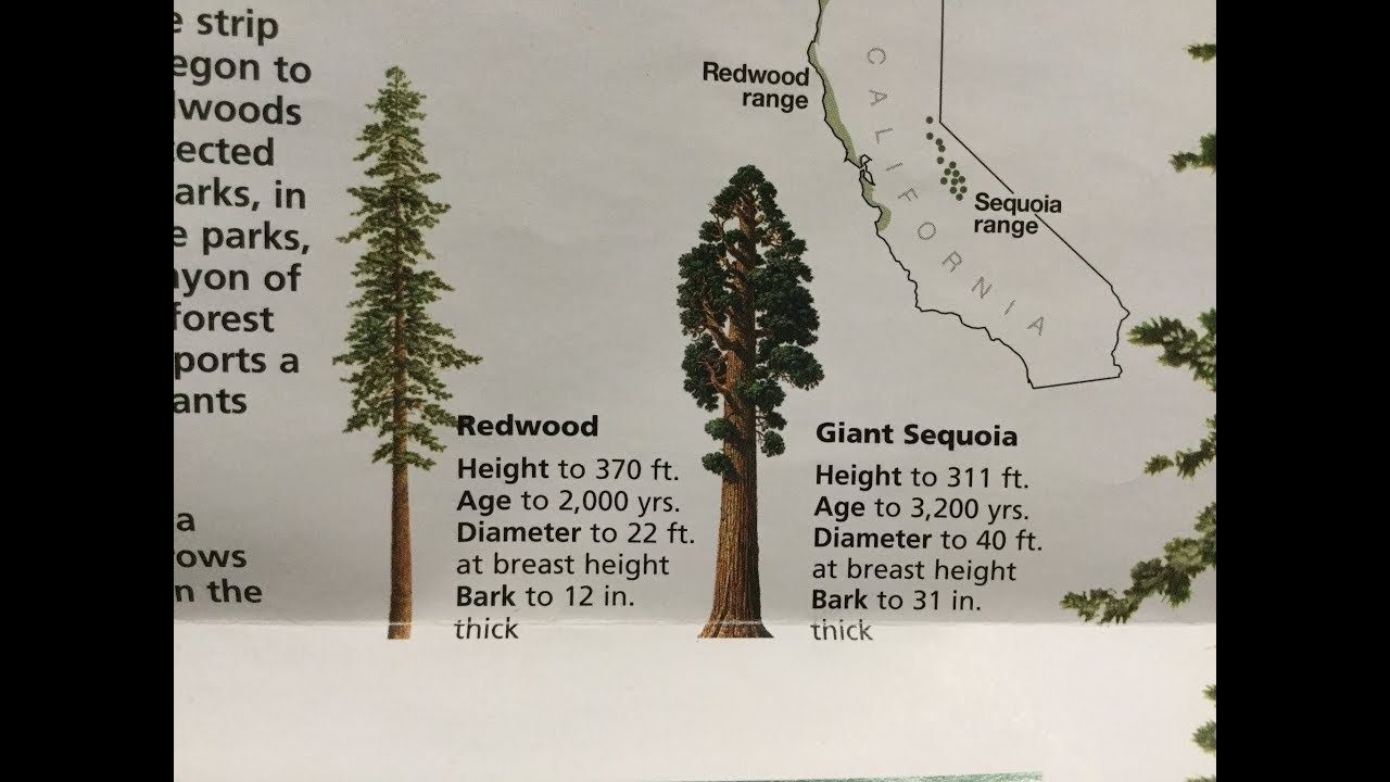 Coast Redwoods Bonsai Update No 3 Along With Starting A New Giant Sequoia Bonsai Youtube